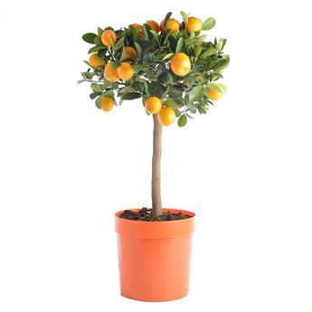 CITRUS fortunella D20 Kumquat 70-80CM