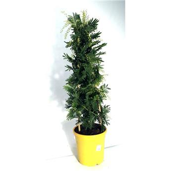 ACACIA dealbata D24 70-75CM TOUFFE Mimosa d hiver