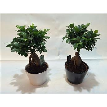 FICUS microcarpa D17C  P X4 Ginseng Black and White