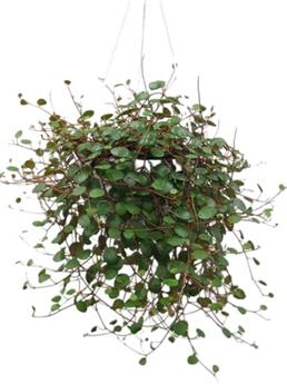 PEPEROMIA Pepperspot D14 x8 SUSPENSION