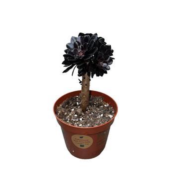 AEONIUM arboreum D08.5 x12 Nigrum