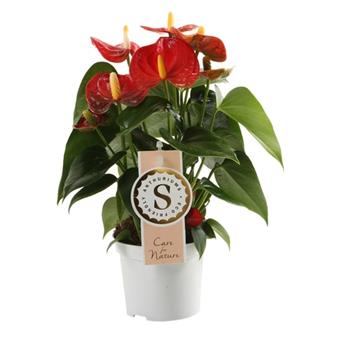 ANTHURIUM andreanum D09 P x12 Red Champion