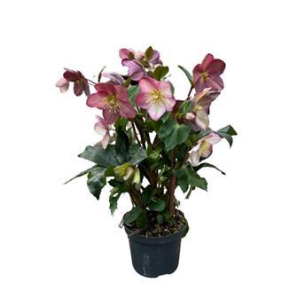 HELLEBORUS hybride D15 P x6 HGC Ice Rose