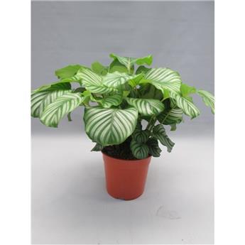 CALATHEA orbifolia D27  P 75CM