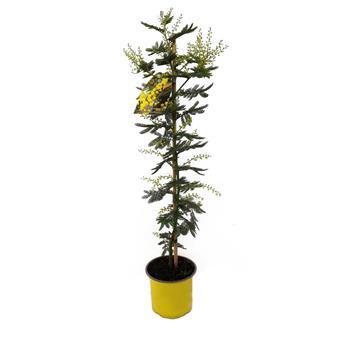 ACACIA dealbata D15 TIGE 70-80CM Mimosa d hiver
