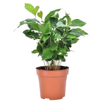 COFFEA arabica D12  P x10 Cafeier 20-30CM