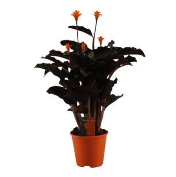 CALATHEA crocata D14  P X8 5-6 Fleurs de Tassmania