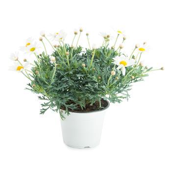 ARGYRANTHEMUM frutescens D19 GRAND Daisy Anthemis
