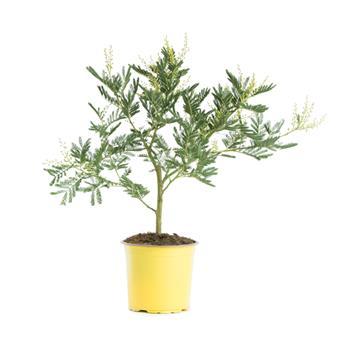 ACACIA dealbata D15 40-45CM TOUFFE Mimosa d hiver