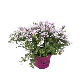 BORONIA anemonifolia D13 x6